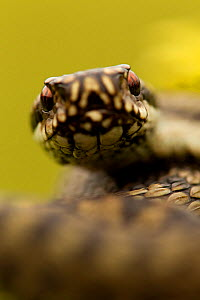 Adder (Vipera berus) portrait, Staffordshire, England, UK, April  -  Danny Green / 2020VISION