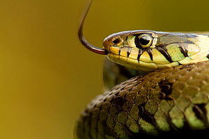 Grass Snake (Natrix natrix) portrait with tongue exposed, basking, Staffordshire, England, UK, April - Danny Green / 2020VISION