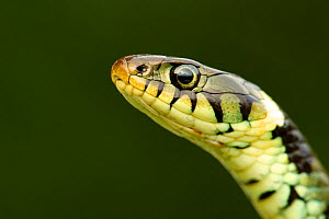 Grass Snake (Natrix natrix) portrait, Staffordshire, England, UK, April  -  Danny Green / 2020VISION