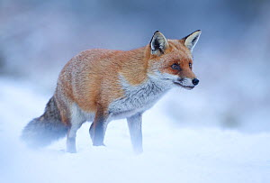 Red Fox (Vulpes vulpes) vixen in snow, Cannock Chase, Staffordshire, England, UK, December  -  Danny Green / 2020VISION