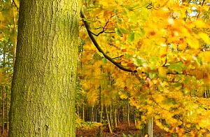 Beech tree in forest interior in Autumn, The National Forest, Central England, UK, November 2010 - Ben Hall / 2020VISION