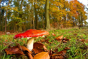 Fly agaric fungus (Amanita muscaria) in woodland setting, The National Forest, Central England, UK, November 2010  -  Ben Hall / 2020VISION