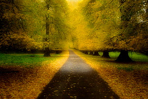 Avenue of mature Lime trees leading to Calke Abbey, The National Forest, Derbyshire, UK, November 2010. Photographer quote: ^Autumn is such a great time of year and the National Forest initiative is j... - Ben Hall / 2020VISION