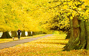 Man with dog jogging down avenue of mature Lime trees leading to Calke Abbey, The National Forest, Derbyshire, UK, November 2010 - Ben Hall / 2020VISION