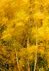 Birch trees blowing in high winds, long exposure, Calke Abbey, The National Forest, Central England, UK, November 2010  -  Ben Hall / 2020VISION