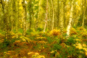 Birch woodland in Autumn, soft filter, The National Forest, Central England, UK, November 2010 - Ben Hall / 2020VISION