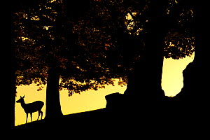 Red Deer (Cervus elaphus) silhouette of hind in woodland glade at dusk, Bradgate Park, Leicestershire, England, UK, October. Did you know? In the absence of natural predators, the UK red deer populati...  -  Danny Green / 2020VISION