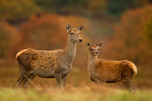 Red deer (Cervus elaphus) hind and young calf, Bradgate Park, Leicestershire, England, UK, November - Danny Green / 2020VISION
