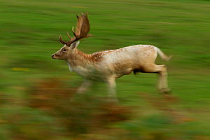 Fallow deer (Dama dama) buck running, Bradgate Park, Leicestershire, England, UK, October  -  Danny Green / 2020VISION