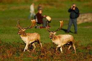 Fallow deer (Dama dama) two bucks sizing each other up, watched by park visitors, Bradgate Park, Leicestershire, England, UK, October 2010  -  Danny Green / 2020VISION