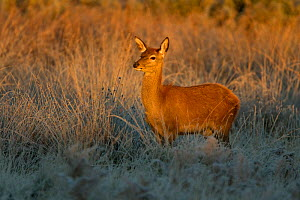 Red deer (Cervus elaphus) young calf on a frosty morning, Richmond Park, London, England, UK, October - Danny Green / 2020VISION