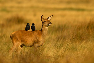 "Red deer (Cervus elaphus) hind with two Jackdaws (Corvus monedula) on her back, Richmond Park, London, England, UK, October. Photographer quote: ""Everything in nature is connected. These two jackdaws... - Danny Green / 2020VISION"
