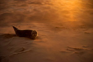 RESTRICTED USE - Common seal (Phoca vitulina) pup resting on a sandbank during a sandstorm, Donna Nook, Lincolnshire, England, UK, October. 2020VISION Exhibition. 2020VISION Book Plate. - Danny Green / 2020VISION