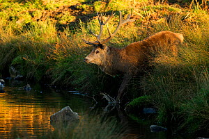 Red deer (Cervus elaphus) stag crossing a river, Bradgate Park, Leicestershire, England, UK, October  -  Danny Green / 2020VISION