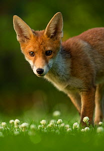 Red Fox (Vulpes vulpes) cub in late evening light, Leicestershire, England, UK, July - Danny Green / 2020VISION