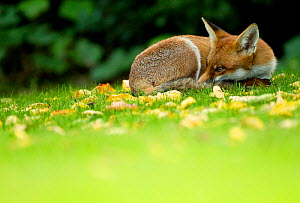 Red Fox (Vulpes vulpes) resting amongst autumn leaves, Leicestershire, England, UK, September - Danny Green / 2020VISION