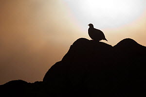 Silhouette of Rock ptarmigan (Lagopus mutus) perched on rock against winter sun, Cairngorms NP, Highlands, Scotland, UK, February. Did you know? Rock ptarmigans have feathered feet which act as snow s...  -  Peter Cairns / 2020VISION
