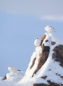 Three Rock ptarmigan (Lagopus mutus) perched on rock, camouflaged against snow in winter plumage, Cairngorms NP, Highlands, Scotland, UK, February - Peter Cairns / 2020VISION