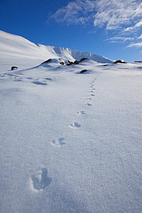 Rock ptarmigan (Lagopus mutus) tracks in snow in winter landscape, Cairngorms NP, Highlands, Scotland, UK, February 2010 - Peter Cairns / 2020VISION