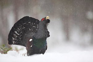 Capercaillie (Tetrao urogallus) male displaying in pine forest in snow, Scotland, UK, February - Peter Cairns / 2020VISION