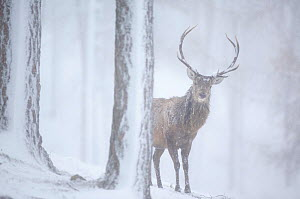 "Red deer (Cervus elaphus) stag in pine forest in snow blizzard, Alvie Estate, Cairngorms NP, Highlands, Scotland, UK, March. Photographer quote: ""At times I couldn�t see this red deer stag such was th...  -  Peter Cairns / 2020VISION"