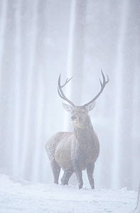 RF- Red deer (Cervus elaphus) stag in pine forest in snow blizzard. Alvie Estate, Cairngorms NP, Highlands, Scotland, UK, March. (This image may be licensed either as rights managed or royalty free.) - Peter  Cairns / 2020VISION