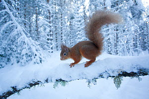 Red squirrel (Sciurus vulgaris) on snow-covered branch in pine forest, Glenfeshie Estate, Cairngorms NP, Highlands, Scotland, UK, January - Peter Cairns / 2020VISION