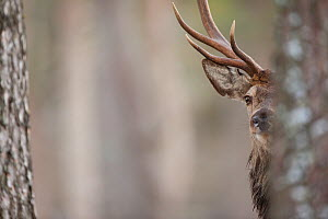 Red deer (Cervus elaphus) stag half hidden  behind tree trunk in pine forest, Alvie Estate, Cairngorms NP, Highlands, Scotland, UK, February. Photographer quote: 'The forest is the real home of red de... - Peter Cairns / 2020VISION