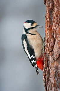 Great-spotted woodpecker (Dendrocopus major) male drumming the trunk of Scots pine tree trunk, Glenfeshie Estate, Cairngorms NP, Highlands, Scotland, UK, January - Peter Cairns / 2020VISION