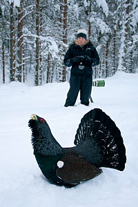 Capercaillie (Tetrao urogallus) male displaying in pine forest in snow, watched by photographer,  Cairngorms NP, Highlands, Scotland, UK, January - Peter Cairns / 2020VISION