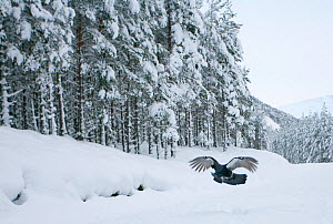 Capercaillie (Tetrao urogallus) male flying low over snow in pine forest, Cairngorms NP, Highlands, Scotland, UK, January - Peter Cairns / 2020VISION