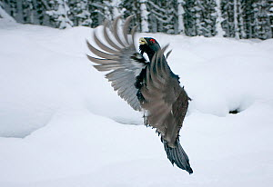 Capercaillie (Tetrao urogallus) male displaying, taking off from snow in pine forest, Cairngorms NP, Highlands, Scotland, UK, January - Peter Cairns / 2020VISION