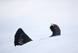 Capercaillie (Tetrao urogallus) male displaying half hidden in snow in pine forest, Cairngorms NP, Highlands, Scotland, UK, January - Peter Cairns / 2020VISION