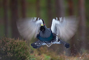 Capercaillie (Tetrao urogallus) male flying through pine forest, Cairngorms NP, Highlands, Scotland, UK, February. 2020VISION Book Plate. - Peter Cairns / 2020VISION