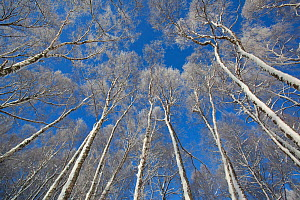 View up through canopy of Silver birches (Betula pendula) in winter, Insh Marshes, Cairngorms NP, Highlands, Scotland, UK, December. Photographer quote: ^Fingers and toes might protest at -15c, but on...  -  Peter Cairns / 2020VISION