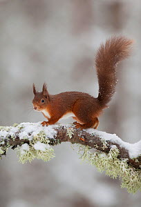 Red squirrel (Sciurus vulgaris) on snow-covered branch in pine forest, Cairngorms NP, Highlands, Scotland, UK, December  -  Peter Cairns / 2020VISION