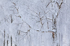 Silver birch trees (Betula pendula) covered in hoar frost in winter, Glenfeshie, Cairngorms NP, Highlands, Scotland, UK, December - Peter Cairns / 2020VISION