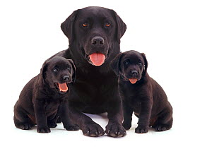 Black Labrador with two puppies. - Jane Burton