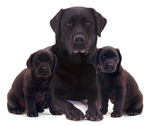 Black Labrador and two puppies. - Jane Burton