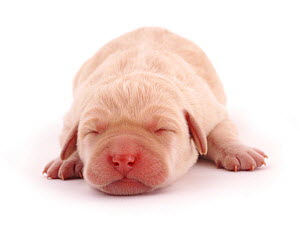 Yellow Labrador retriever, new born puppy sleeping.  -  Jane Burton