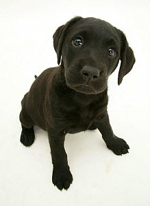 Black Labrador retriever puppy sitting, 8 weeks. - Jane Burton