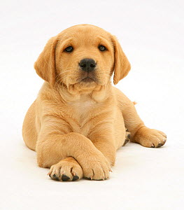 Yellow Labrador Retriever pup, 8 weeks, lying with paws crossed.  -  Jane Burton