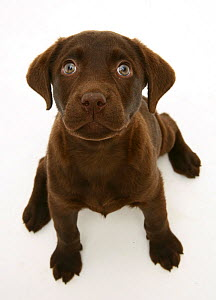 Chocolate Labrador Retriever puppy, sitting and looking up.  -  Jane Burton