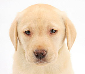 Yellow Labrador Retriever puppy, 7 weeks.  -  Mark Taylor