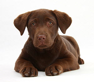 Chocolate Labrador puppy, 3 months, lying. - Mark Taylor