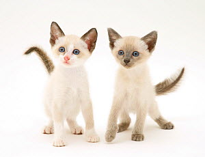 A pair of Siamese-cross kittens. - Jane Burton