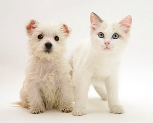 Ragdoll kitten with West Highland White Terrier puppy. NOT AVAILABLE FOR BOOK USE - Jane Burton
