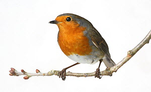 European Robin (Erithacus rubecula) perched on a twig against a white background. UK, September. - Kim Taylor