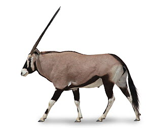Gemsbok (Oryx gazella) in profile against white background. Endemic to central and southern Africa.  -  Kim Taylor