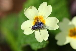 Bluebottle Fly (Calliphora) on Primrose (Primula vulgaris) in flower. Surrey, UK, April.  -  Kim Taylor